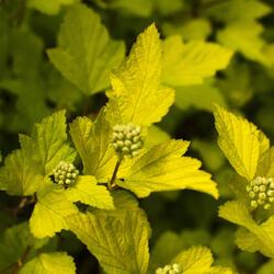 Tavola kalinolistá 'Dart's Gold' - Physocarpus opulifolius 'Dart's Gold'