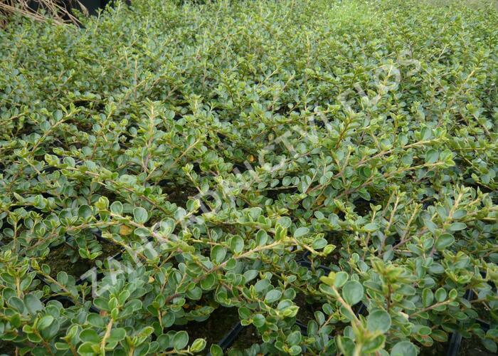 Skalník vodorovný - Cotoneaster horizontalis