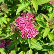 Tavolník japonský 'Anthony Waterer' - Spiraea japonica 'Anthony Waterer'