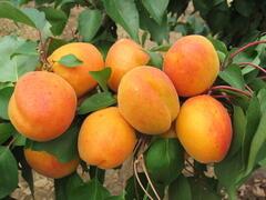 Meruňka velmi raná 'Radka' - Prunus armeniaca 'Radka'