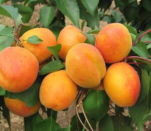 Meruňka - velmi raná 'Radka' - Prunus armeniaca 'Radka'