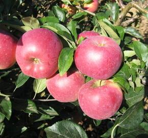 Jabloň zimní 'Blaník' - Malus domestica 'Blaník'
