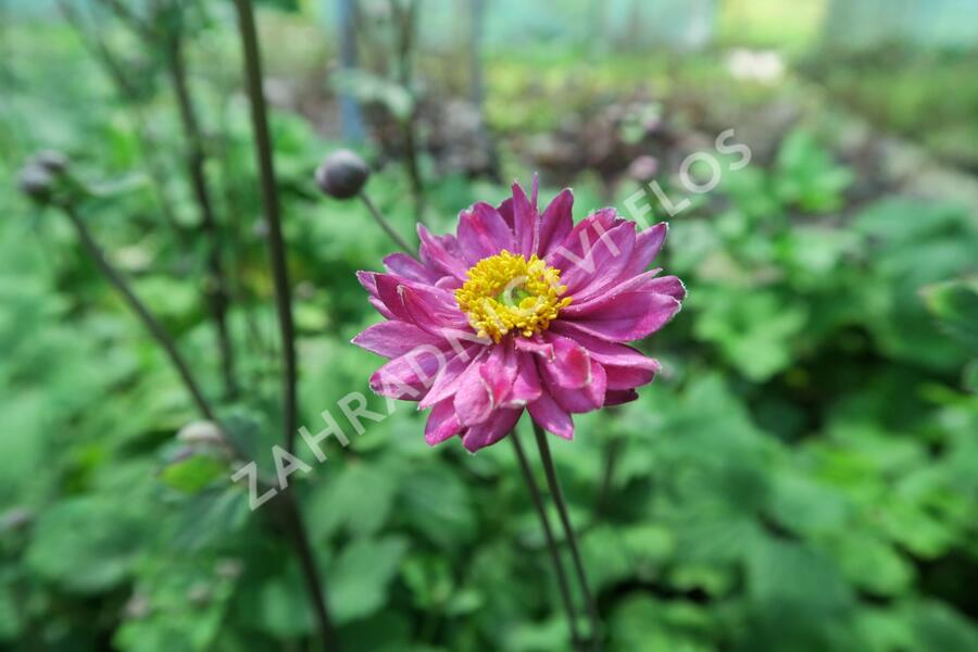 Sasanka 'Giselle' - Anemone hupehensis 'Giselle'