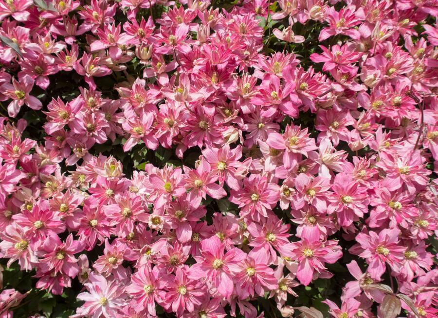 Plamének horský 'Broughton Star' - Clematis montana 'Broughton Star'
