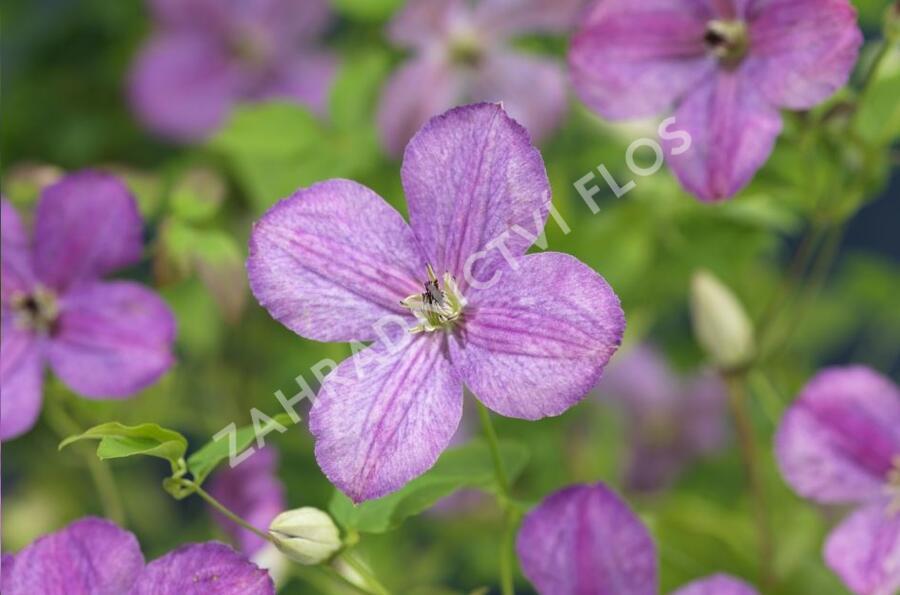 Plamének 'So Many® Lavender Flowers' PBR - Clematis 'So Many® Lavender Flowers' PBR