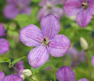 Plamének 'So Many® Lavender Flowers' PB' - Clematis 'So Many® Lavender Flowers' PBR