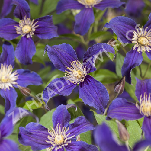 Plamének 'So Many® Blue Flowers' PB' - Clematis 'So Many® Blue Flowers' PBR