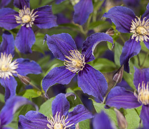 Plamének 'So Many® Blue Flowers' PBR - Clematis 'So Many® Blue Flowers' PBR