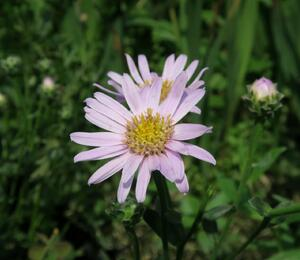 Hvězdnice chlumní 'Feuer' - Aster amellus 'Feuer'