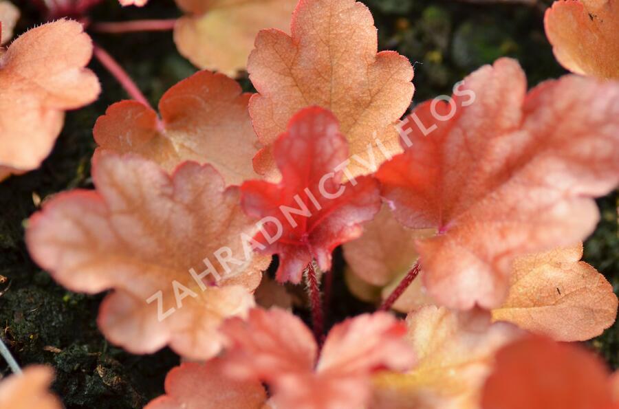 Dlužicha 'Peach Flambe' - Heuchera hybrida 'Peach Flambe'