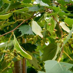 Lípa 'Harvest Gold' - Tilia mongolica 'Harvest Gold'