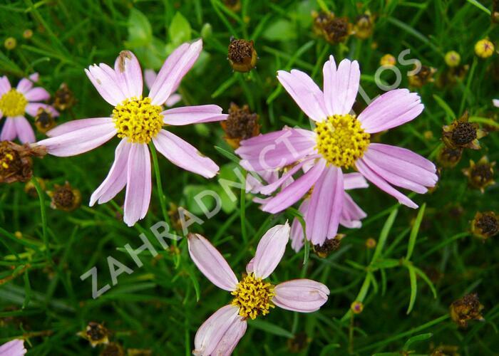 Krásnoočko 'American Dream' - Coreopsis rosea 'American Dream'