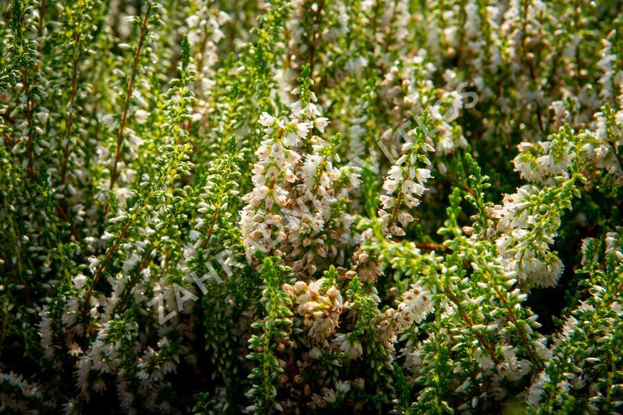 Vřes obecný 'Stefanie' - Calluna vulgaris 'Stefanie'