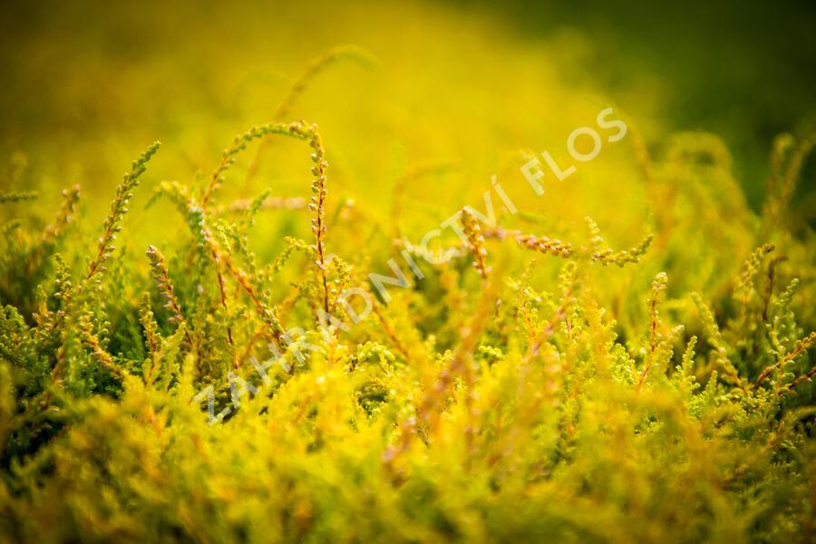 Vřes obecný 'Boskoop' - Calluna vulgaris 'Boskoop'