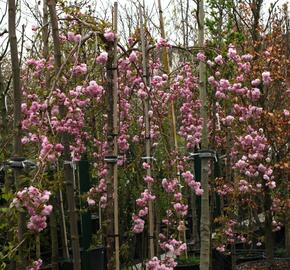 Višeň pilovitá 'Kiku-shidare' - Prunus serrulata 'Kiku-shidare'