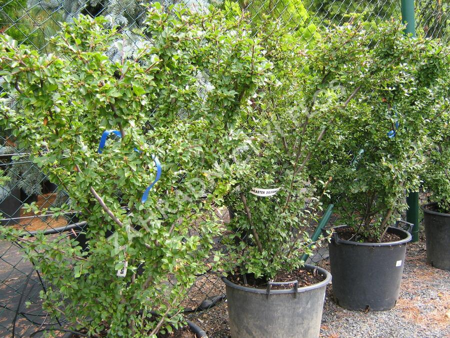 Skalník Dielsův - Cotoneaster dielsianus