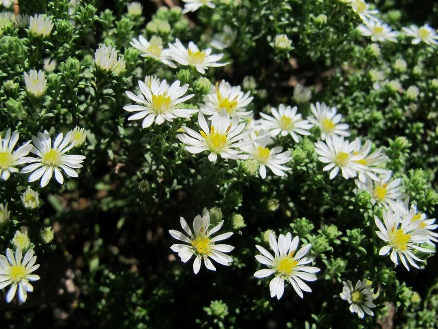 Hvězdnice vřesovcová 'Schneetanne' - Aster ericoides 'Schneetanne'