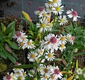Hvězdnice vřesovcová 'Alaska' - Aster ericoides 'Alaska'