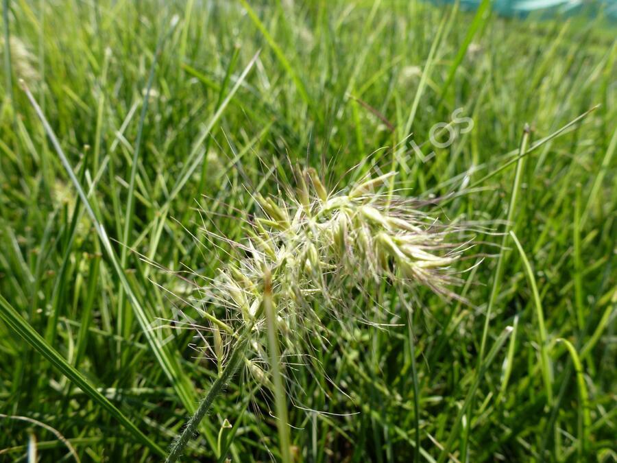 Dochan psárkovitý 'Little Honey' - Pennisetum alopecuroides 'Little Honey'