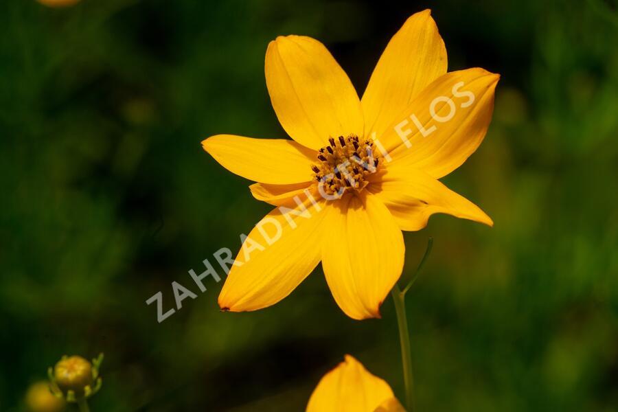 Krásnoočko přeslenité - Coreopsis verticillata