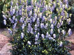 Oměj Carmichaelův 'Cloudy' - Aconitum carmichaelii 'Cloudy'
