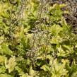 Dlužela 'Yellowstone Falls' - Heucherella hybrida 'Yellowstone Falls'