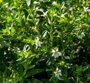 Kufea, hlazenec ohnivý 'Alba' - Cuphea hyssopifolia 'Alba'