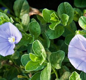 Svlačec savojský 'Compact Blue' - Convolvulus sabatius 'Compact Blue'