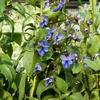 Blahokeř - Clerodendrum ugandense