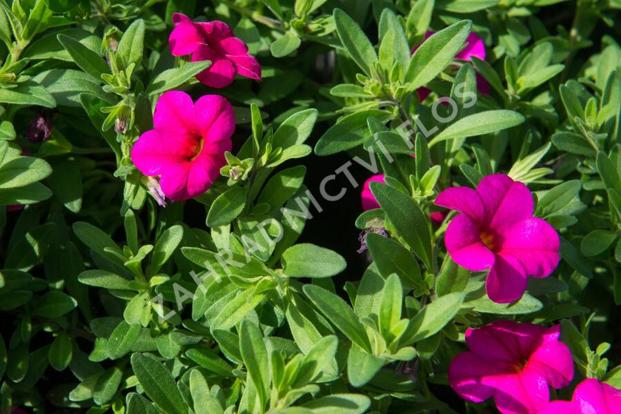 Minipetunie, Million Bells 'Callie Rose with Eye' - Calibrachoa hybrida 'Callie Rose with Eye'