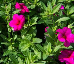 Minipetunie, Million Bells 'Callie Rose with Eye' - Calibrachoa hybrida 'Callie Rose with Eye'