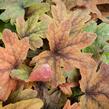 Dlužela 'Sweet Tea' - Heucherella hybrida 'Sweet Tea'
