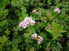 Tavolník japonský 'Little Princess' - Spiraea japonica 'Little Princess'