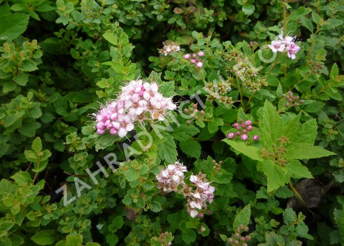 Tavolník japonský 'Little Princess' - Spiraea japonica 'Little Princess'