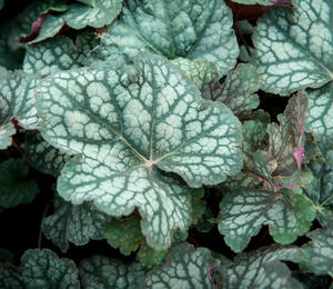 Dlužicha 'Velvet Night' - Heuchera 'Velvet Night'