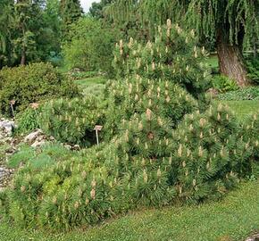 Borovice černá 'Nana' - Pinus nigra 'Nana'