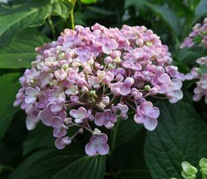 Hortenzie velkolistá - Hydrangea macrophylla 'Ayesha'