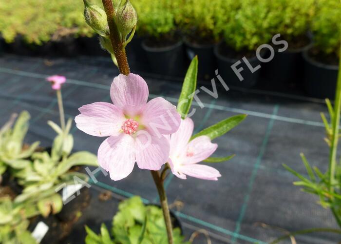 Slézovník jabloňokvětý 'Rosaly' - Sidalcea malviflora 'Rosaly'