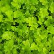 Dlužicha 'Lime Marmalade' - Heuchera hybrida 'Lime Marmalade'