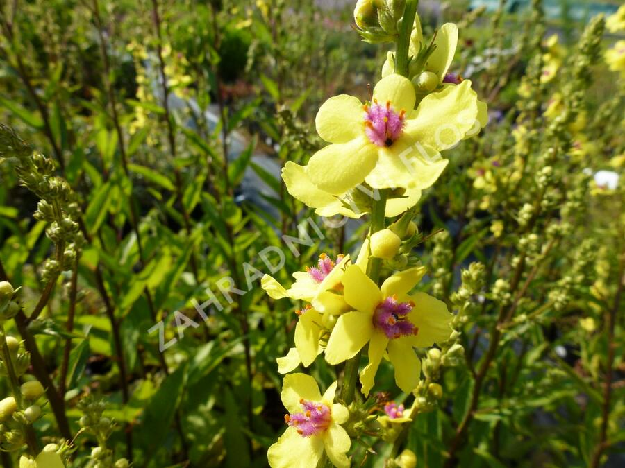 Divizna 'Sixteen Candles' - Verbascum chaixii 'Sixteen Candles'