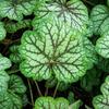 Dlužicha 'Green Spice' - Heuchera hybrida 'Green Spice'