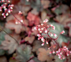 Dlužicha 'Fire Chief' - Heuchera hybrida 'Fire Chief'