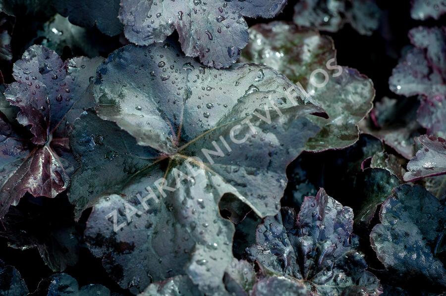 Dlužicha 'Obsidian' - Heuchera hybrida 'Obsidian'