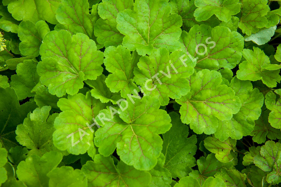 Dlužicha 'Blondie in Lime' - Heuchera hybrida 'Blondie in Lime'