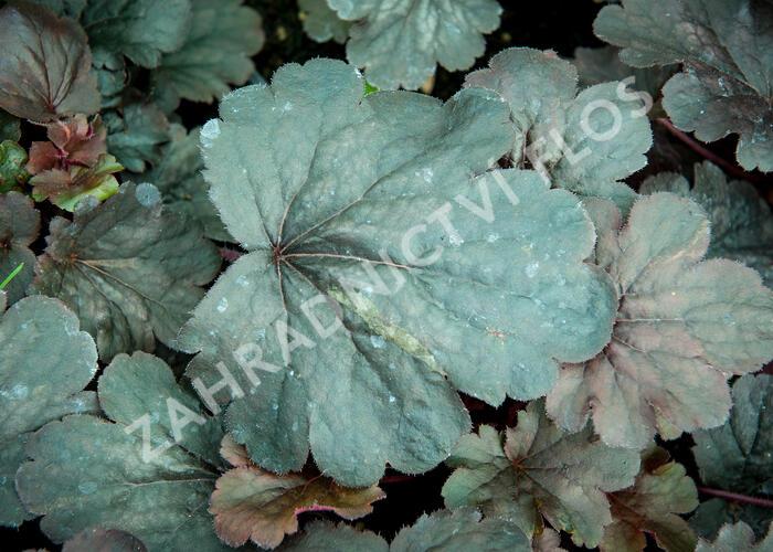 Dlužicha 'Bella Notte' - Heuchera hybrida 'Bella Notte'