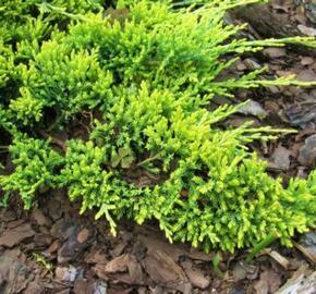 Jalovec polehlý 'Golden Carpet' - Juniperus horizontalis 'Golden Carpet'