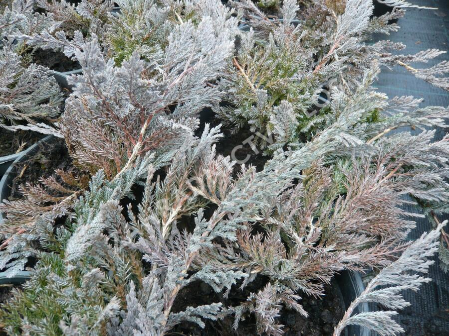 Jalovec polehlý 'Blue Chip' - Juniperus horizontalis 'Blue Chip'