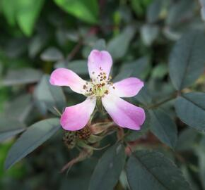 Růže sivá - Rosa glauca