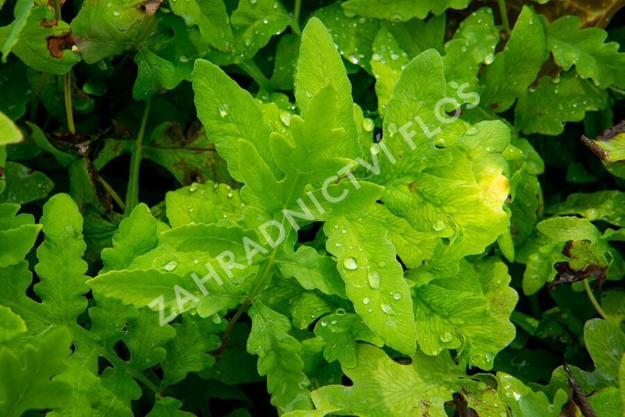 Kapradiník bažinný - Thelypteris palustris
