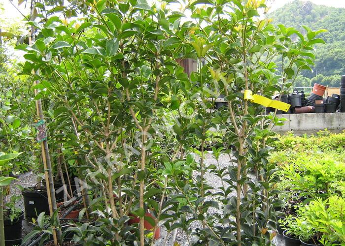Vonokvětka cesmínolistá - Osmanthus aquifolium